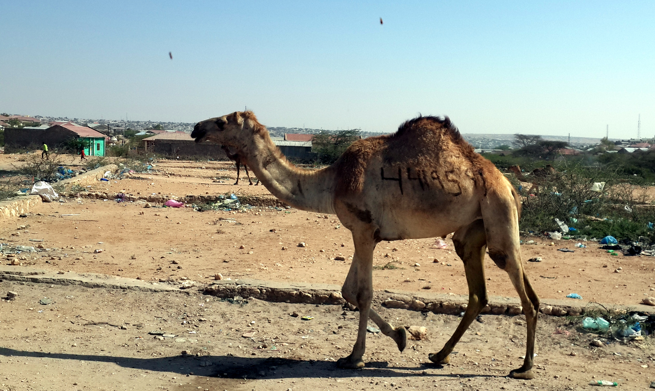 camel in Hargeisa
